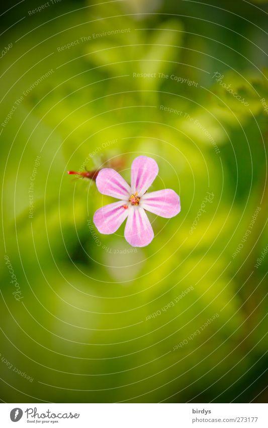 Storchschnabelblüte Natur Pflanze Frühling Sommer Schönes Wetter Blume Blüte Blühend leuchten Freundlichkeit frisch positiv schön grün rosa ästhetisch Farbe
