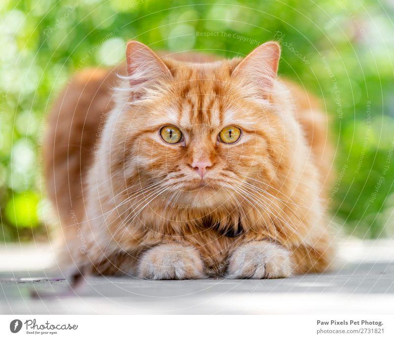 Eine Ingwer-Katze, die in die Kamera schaut. Tier Haustier Fell Pfote 1 liegen Katzenauge Katzenbaby Regenbogenhaut anschauend Appetit & Hunger majestätisch