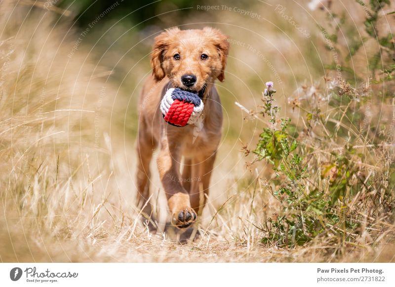 Ein Hund mit einem Ball Tier Haustier Tiergesicht Pfote 1 Tierjunges laufen tragen blau gelb gold orange rot weiß Golden Retriever Welpe Gras Farbfoto