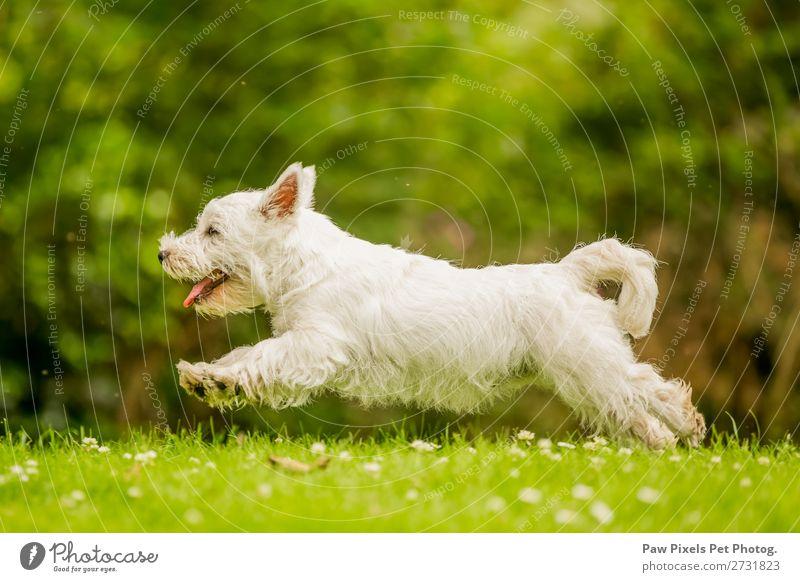Ein Hund, der über ein Feld mit Gänseblümchen rennt und springt. Tier Haustier Tiergesicht 1 rennen Spielen springen grün weiß Freude Tatkraft Farbfoto