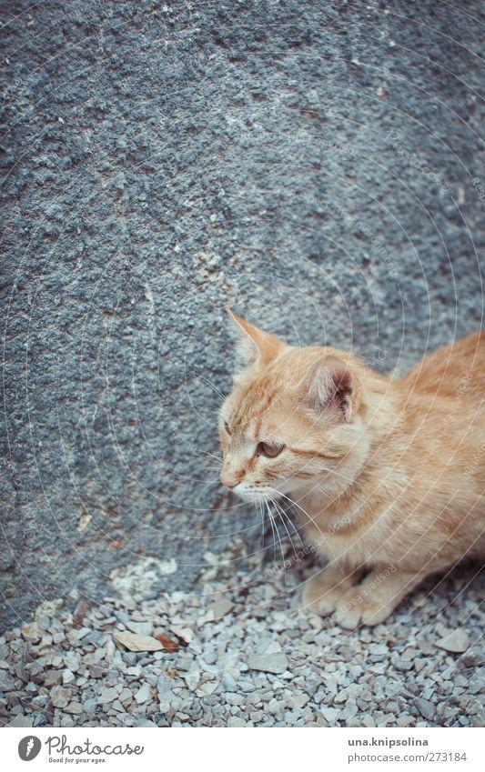 kat blond rothaarig Tier Haustier Katze Tiergesicht Fell Pfote 1 beobachten hocken liegen kuschlig niedlich wild weich Tigerfellmuster Kieselsteine Beton grau