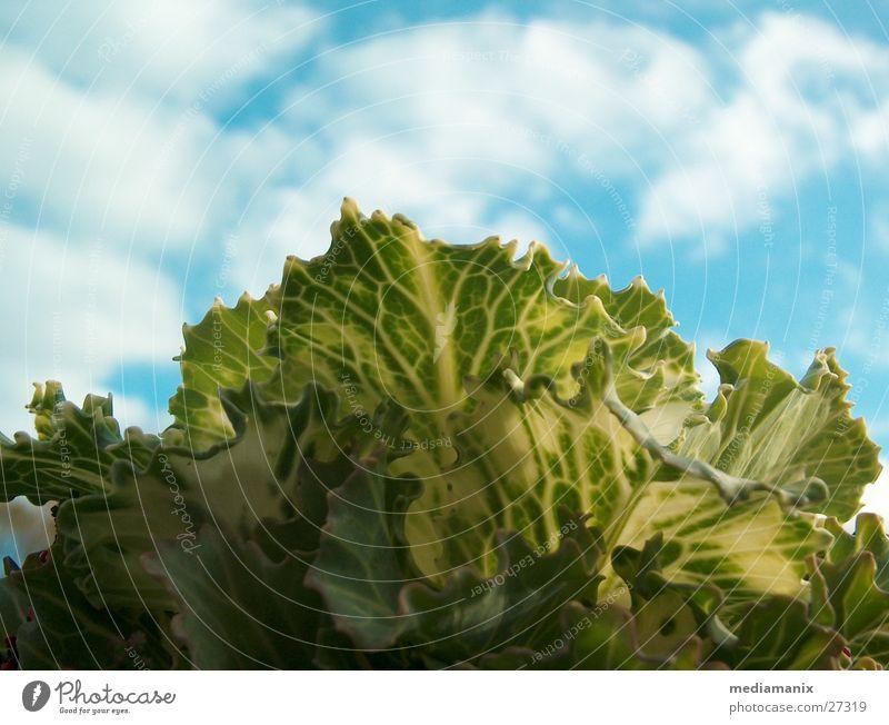 Kohlkopf und Himmel Wolken Ernährung Lebensmittel Gemüse Blauer Himmel Vegetarische Ernährung Kohlgewächse