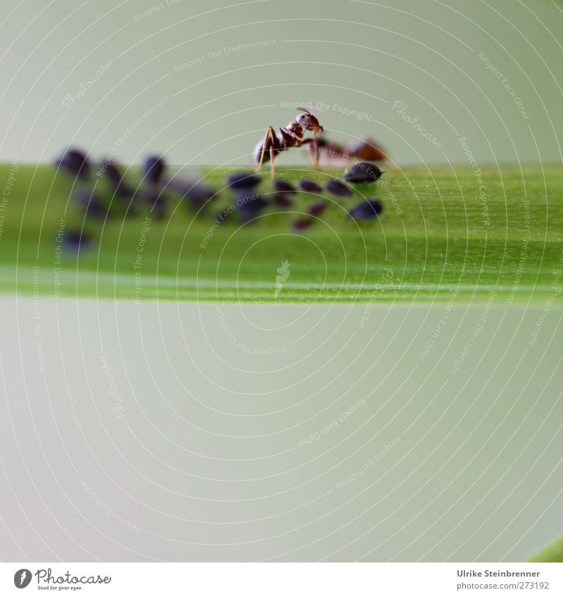 Zum Läusemelken! Natur grün Pflanze Sommer Tier schwarz Garten Arbeit & Erwerbstätigkeit Wildtier laufen Tiergruppe Sträucher Stengel Fressen krabbeln füttern