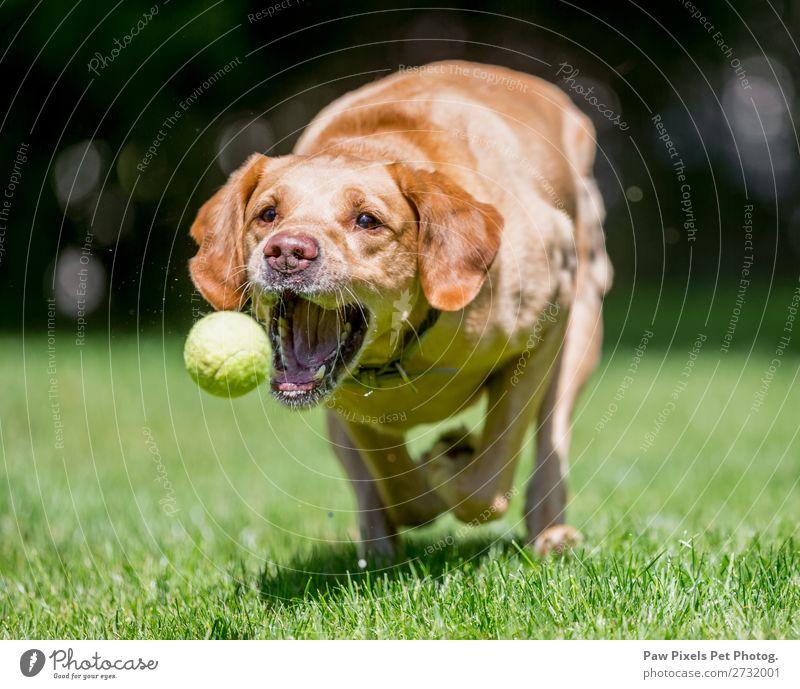 Nahaufnahme eines Hundes, der einen Ball fängt. Tier Haustier Tiergesicht Pfote 1 rennen Spielen springen Fröhlichkeit schön Farbfoto Außenaufnahme Morgen