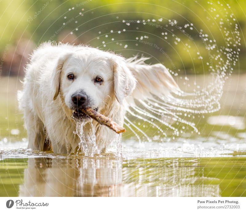 Hund im See mit einem Stock Tier Haustier Tiergesicht Fell 1 Wasser laufen Schwimmen & Baden Spielen schön Farbfoto Außenaufnahme Nahaufnahme Menschenleer