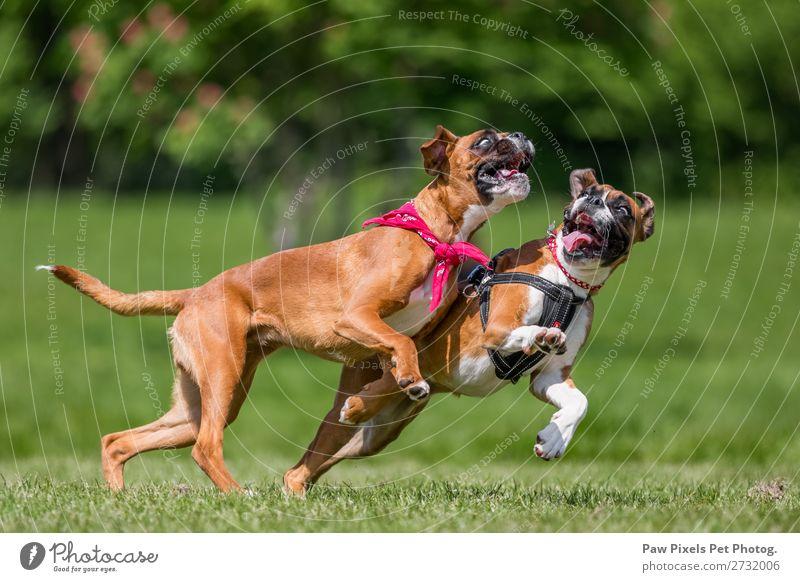 Nahaufnahme von zwei Hunden, die auf einem Hügel spielen. Boxerhunde. Natur Tier Frühling Sommer Schönes Wetter Gras Park Wiese Feld Wald Haustier Tiergesicht