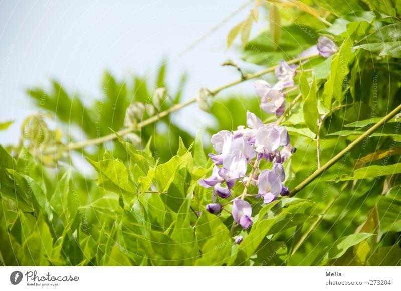 Blauregen Umwelt Natur Pflanze Blatt Blüte Grünpflanze Glyzinie Blühend Wachstum schön natürlich grün bewachsen Farbfoto Außenaufnahme Menschenleer Tag