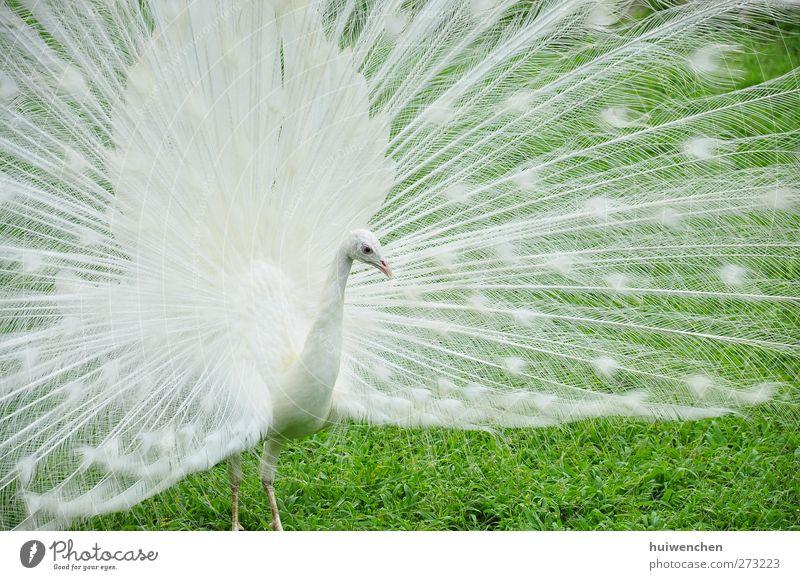 Natur weiß grün schön Pflanze Tier Einsamkeit Blatt Frühling Gras Zufriedenheit Feld Wildtier natürlich elegant stehen