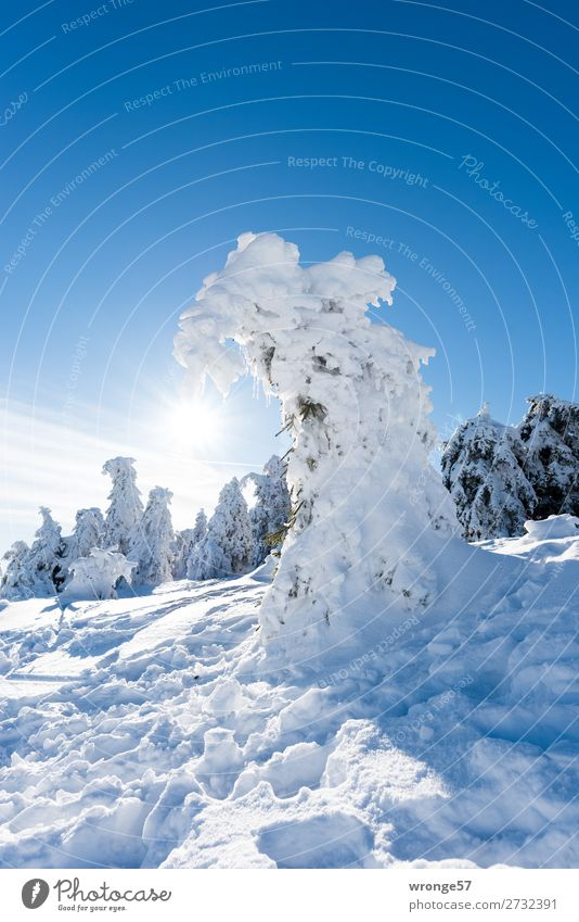 Winterwald III Natur Landschaft Pflanze Himmel Sonne Schönes Wetter Eis Frost Schnee Baum Nadelbaum Fichtenwald Berge u. Gebirge Harz Brocken kalt blau braun