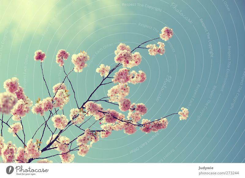 Rosa Zierde Umwelt Natur Pflanze Himmel Frühling Schönes Wetter Baum Blüte Garten Blühend Wachstum frei schön feminin blau rosa Frühlingsgefühle rein