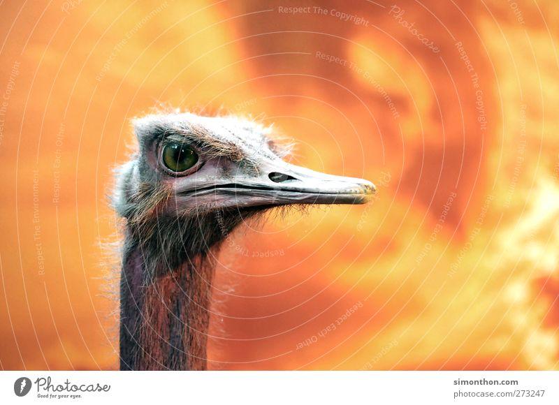 strauß Natur Tier Tierjunges Vogel Hintergrundbild wild natürlich Brand Feuer Feder Tiergesicht Afrika Zoo Museum tierisch Schnabel