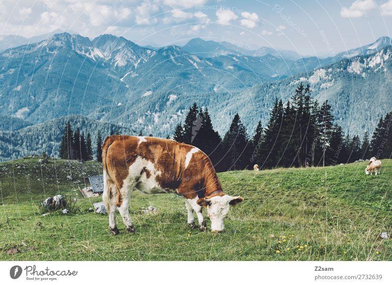 Kuh auf bayerischer Almwiese Natur Sommer blau grün Landschaft Erholung ruhig Berge u. Gebirge Umwelt natürlich Wiese wandern Idylle stehen Schönes Wetter Alpen