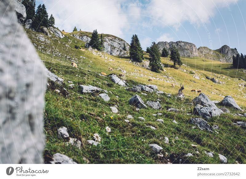 Milchkühe auf der Rotwan | Bayern wandern Umwelt Natur Landschaft Sommer Schönes Wetter Felsen Alpen Berge u. Gebirge Kuh Tiergruppe frisch gigantisch hoch
