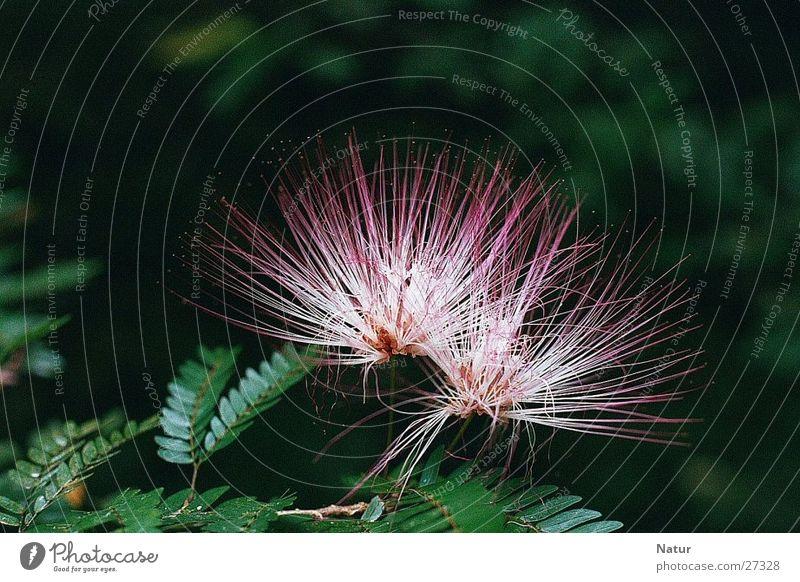 Mimosaceae am Auyan-Tepui (Venezuela) Mimosengewächse Blüte Baum Vollendung perfekt Sommer Tepui-Region Gran Sabana voll aufgeblüht in voller blüte