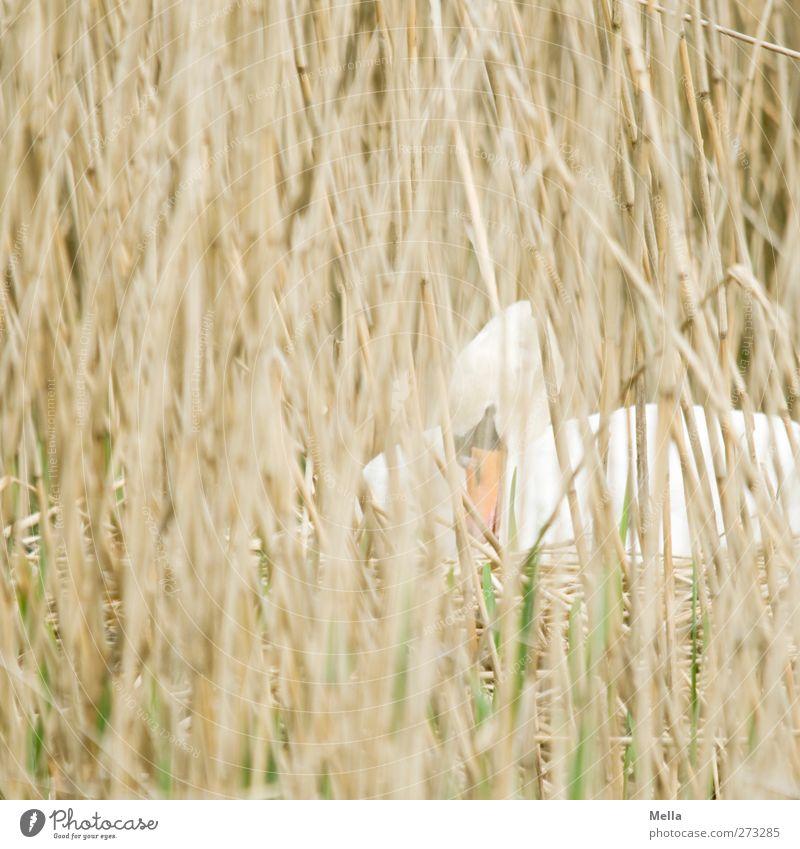 Mama Schwan, die Zweite Natur Pflanze Tier Umwelt Gras Wildtier sitzen natürlich Sicherheit Schutz Schilfrohr verstecken Halm bauen Geborgenheit Schwan