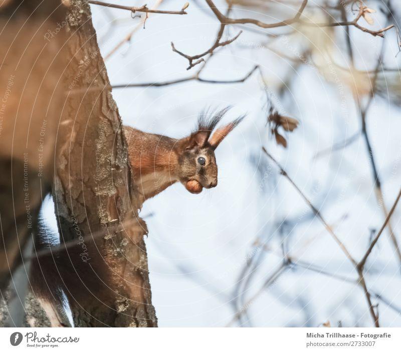 Eichhörnchen mit Nuss im Maul Umwelt Tier Himmel Sonnenlicht Schönes Wetter Baum Wildtier Tiergesicht Fell Ohr Auge 1 beobachten Fressen Blick natürlich Neugier