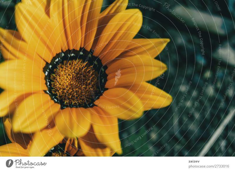 Makro einer gelben Blume der Gazania rigens Gazanie Schatzblume Asteraceae ornamental Blatt Blätter Blütenblätter Staubblätter Blütenstempel gold schwarz weiß