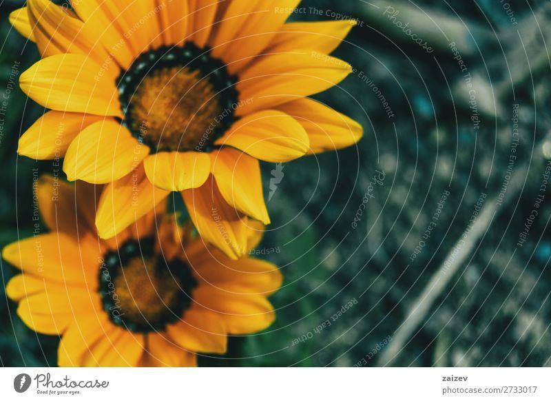 Nahaufnahme von zwei gelben Blüten der Gazania rigens in freier Wildbahn Gazanie Schatzblume Asteraceae ornamental Blatt Blätter Blütenblätter Staubblätter