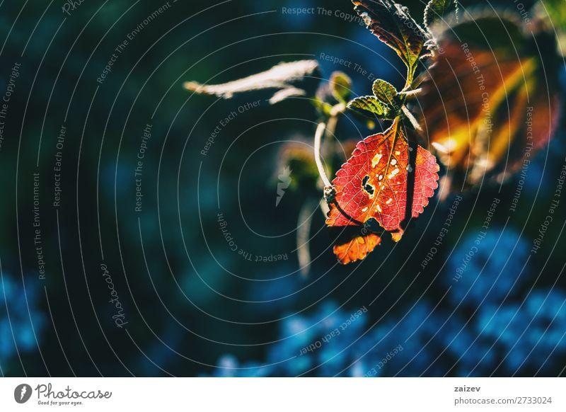 Detail eines roten, undichten Blattes Löcher löchrig verschlungen Vene Aderlass Blätter Ast grün durchscheinend Sonnenlicht Baum Strauch Vegetation Opfer Tag