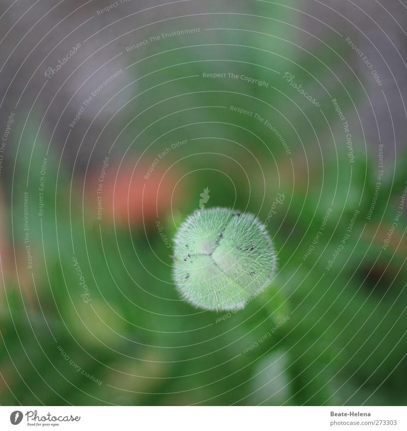 Frucht-Bar Natur grün Pflanze Blume Garten Behaarung Zukunft Mohn Blütenknospen stachelig Fortpflanzung Evolution Zuwachs Blumenbeet fruchtbar Gartenpflanzen