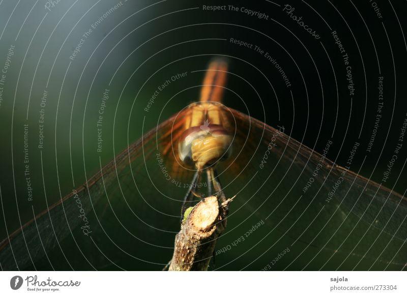 neeeiiiiinnnn! Tier Wildtier Insekt Libelle 1 Blick sitzen warten Kopfschütteln Bewegung verneinen Farbfoto Außenaufnahme Nahaufnahme Makroaufnahme Menschenleer
