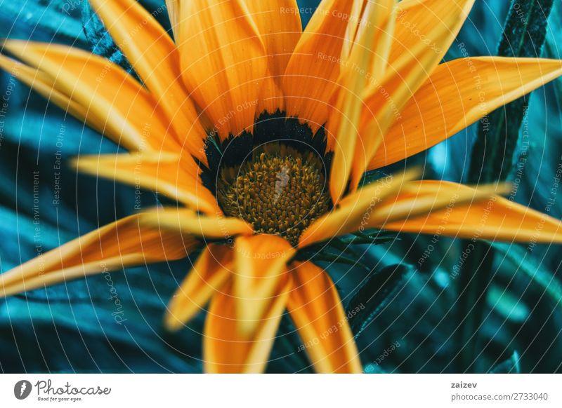 Detail einer gelben Blume der Gazania rigens Gazanie Schatzblume Asteraceae ornamental Blatt Blätter Blütenblätter Staubblätter Blütenstempel gold schwarz weich