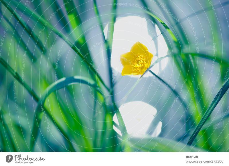 Spotbelichtung Natur Frühling Sommer Blume Gras Blatt Blüte Hahnenfuß Blühend Farbfoto Außenaufnahme Menschenleer Kontrast Lichterscheinung Sonnenlicht