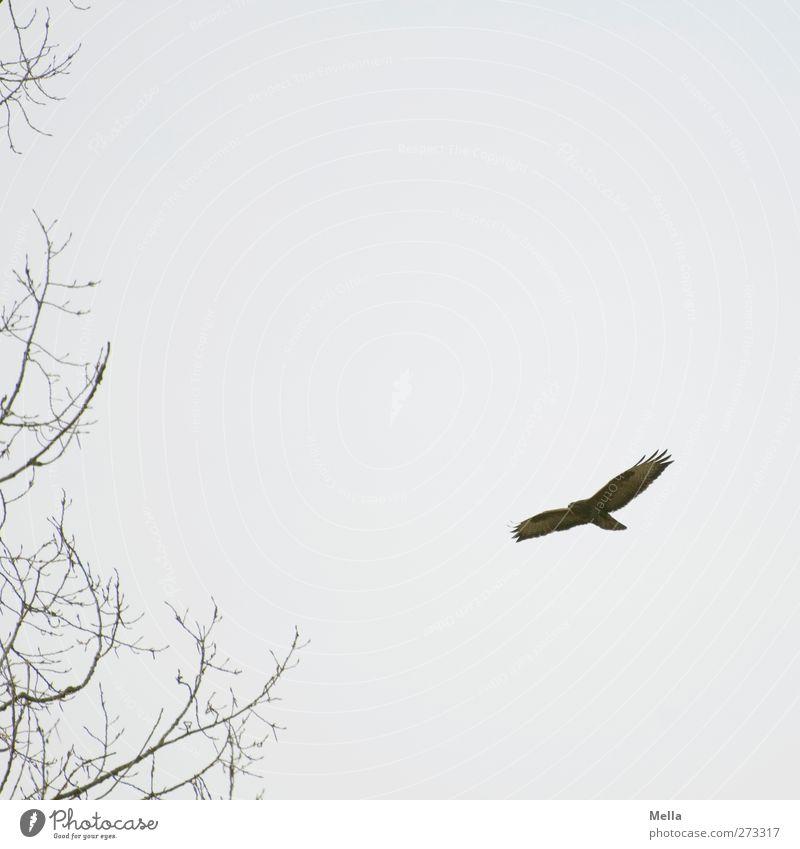 900 - Vogelbild, was sonst Umwelt Natur Tier Pflanze Baum Ast Wildtier Bussard Mäusebussard 1 fliegen frei natürlich grau Freiheit Farbfoto Außenaufnahme