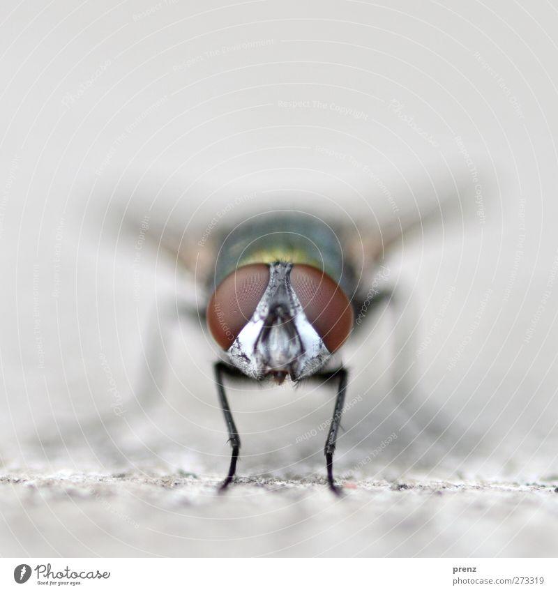 Glubschis Natur Tier Umwelt grau braun Wildtier Fliege beobachten Insekt Facettenauge