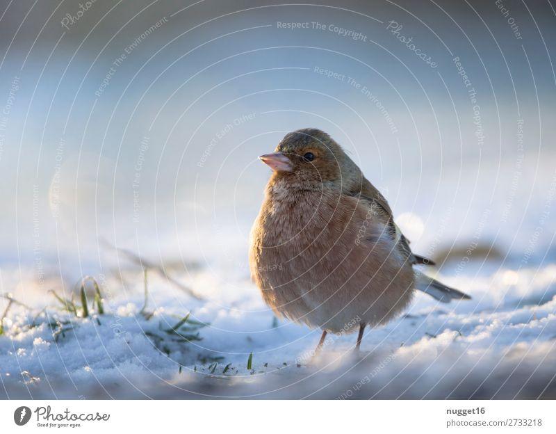 Buchfink im Schnee Umwelt Natur Tier Sonnenlicht Winter Klima Klimawandel Wetter Schönes Wetter Eis Frost Schneefall Gras Garten Park Wiese Feld Wald Wildtier