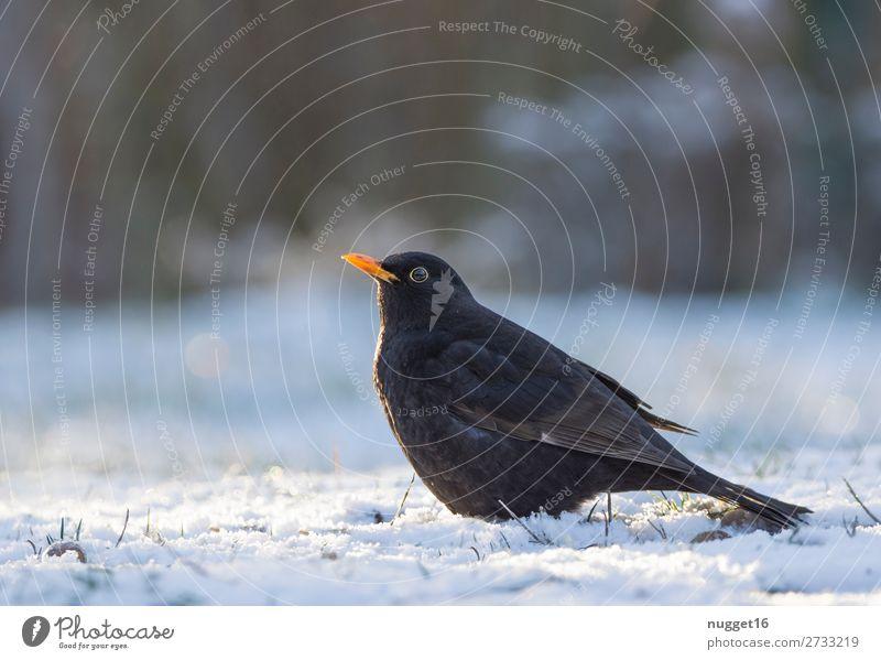 Amsel im Schnee Umwelt Natur Tier Sonnenlicht Winter Klima Klimawandel Schönes Wetter Eis Frost Schneefall Gras Garten Park Wiese Feld Wald Wildtier Vogel