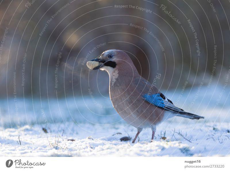 Eichelhäher mit Erdnuss Umwelt Natur Tier Sonnenlicht Winter Klima Klimawandel Wetter Schönes Wetter Eis Frost Schnee Schneefall Gras Garten Park Wiese Feld