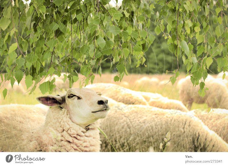 Chef Natur Tier Pflanze Baum Blatt Birke Wiese Nutztier Tiergesicht Fell Schaf Herde gelb grün Fressen Wolle Farbfoto mehrfarbig Außenaufnahme Detailaufnahme