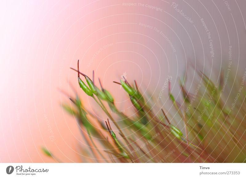 Turtel-Moos Schönes Wetter Umarmen Wachstum klein stachelig blau grün rosa filigran nah Farbfoto mehrfarbig Außenaufnahme Makroaufnahme Menschenleer