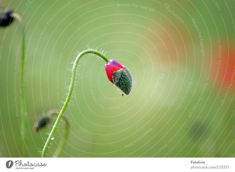Für Susanne Städter Natur grün rot Pflanze Sommer Blume Umwelt Wärme Garten hell Park natürlich Mohn Blütenknospen Mohnblüte Mohnblatt