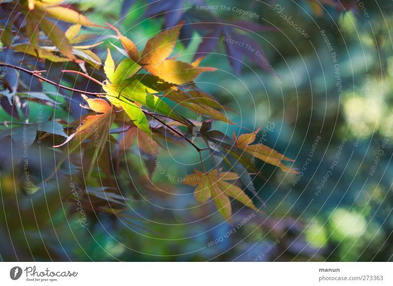 Gartenbeleuchtung Natur Frühling Sommer Pflanze Baum Blatt Ahorn Ahornblatt Ahornzweig natürlich Farbfoto Außenaufnahme Menschenleer Licht Schatten Kontrast