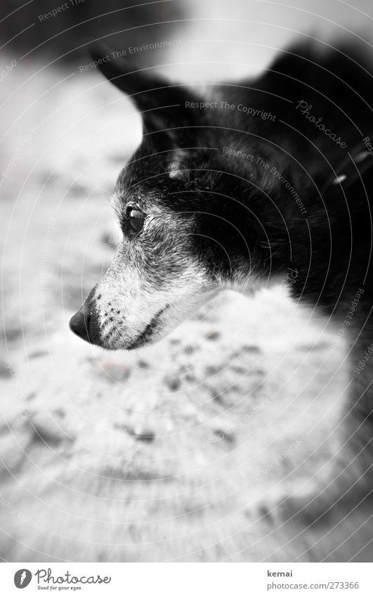 Hiddensee | In memory of Axel Ferien & Urlaub & Reisen Ausflug Strand Sand Haustier Hund Tiergesicht Fell Auge Schnauze 1 alt schön klein niedlich grau schwarz