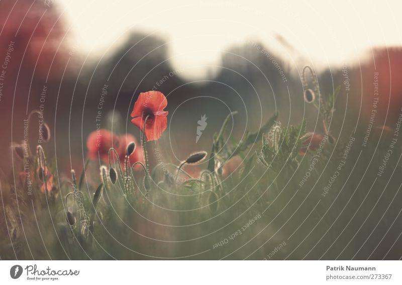 Mohn Natur grün schön rot Pflanze Sonne Tier ruhig Umwelt Landschaft Wärme Gras Blüte Kraft außergewöhnlich glänzend