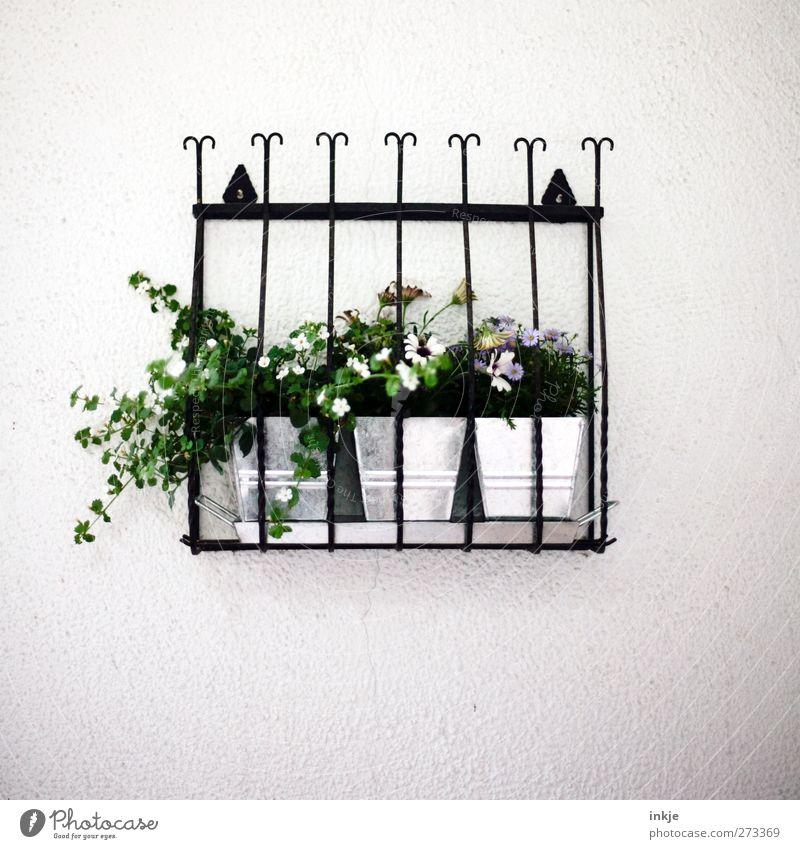 Fluchtgefahr gebannt!! (ein Glück!) Pflanze Blume Wand Mauer Fassade Häusliches Leben Dekoration & Verzierung Sicherheit Blühend Mitte hängen gefangen Gitter