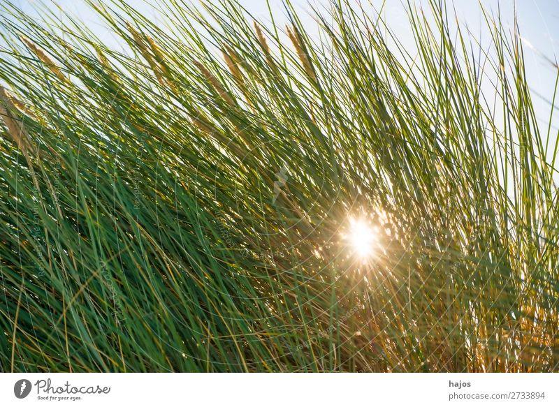 Strandhafer an der Ostsee im Gegenlicht Sommer Pflanze Sand Gras Sträucher hell grün blau Himmel Polen Flora Strahlen Sonne Urlaub Tourismus Farbfoto
