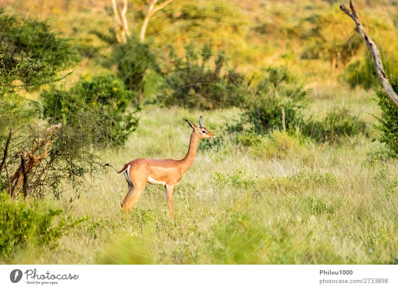 Giraffenantilope in der Savanne Spielen Tourismus Safari Natur Tier Erde Himmel Park lang natürlich wild braun schwarz weiß Samburu Afrika Afrikanisch Antilopen