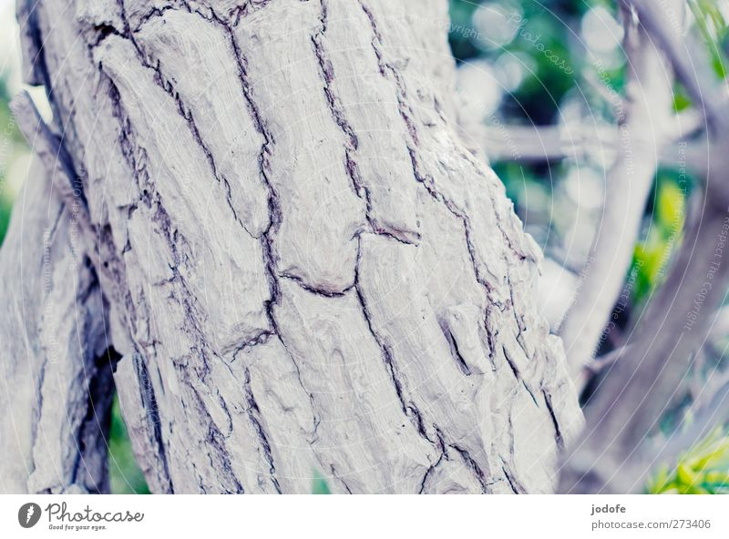 Hiddensee | Rinde Umwelt Natur Pflanze Baum weiß Baumrinde zerfurcht alt Riss Strukturen & Formen knorpelig Kork Baumstamm Ast Tod Totholz Farbfoto