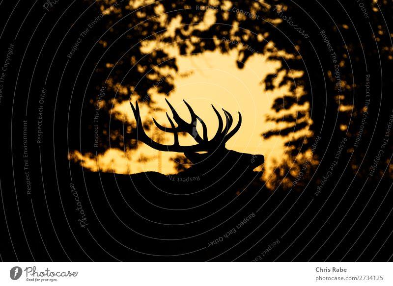 Rotwildhirsch (Cervus elaphus) Natur Tier Park Wildtier 1 natürlich Hirsche (Cervidae) Säugetier Rotwild (Cervus elaphus) vereinigtes königreich Tiere Horn