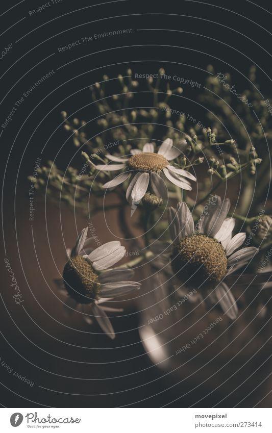 Glas Kamille Kräuter & Gewürze Pflanze Blume Nutzpflanze Kamillenblüten Natur Unkraut Heilpflanzen Gedeckte Farben Studioaufnahme Nahaufnahme Textfreiraum oben