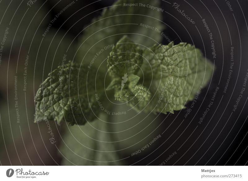 Minze Lebensmittel Kräuter & Gewürze Ernährung Bioprodukte Pflanze Blatt Grünpflanze Nutzpflanze Farbfoto Nahaufnahme Detailaufnahme Makroaufnahme Menschenleer