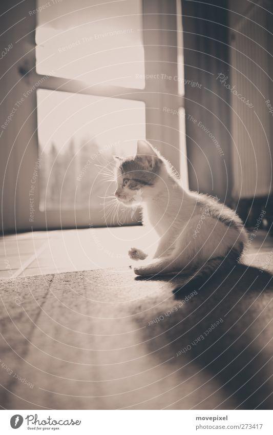 Katzen lächeln? Tier Haustier 1 Tierjunges Blick sitzen Neugier Hauskatze Mietzekatze Gedeckte Farben Innenaufnahme Nahaufnahme Textfreiraum oben