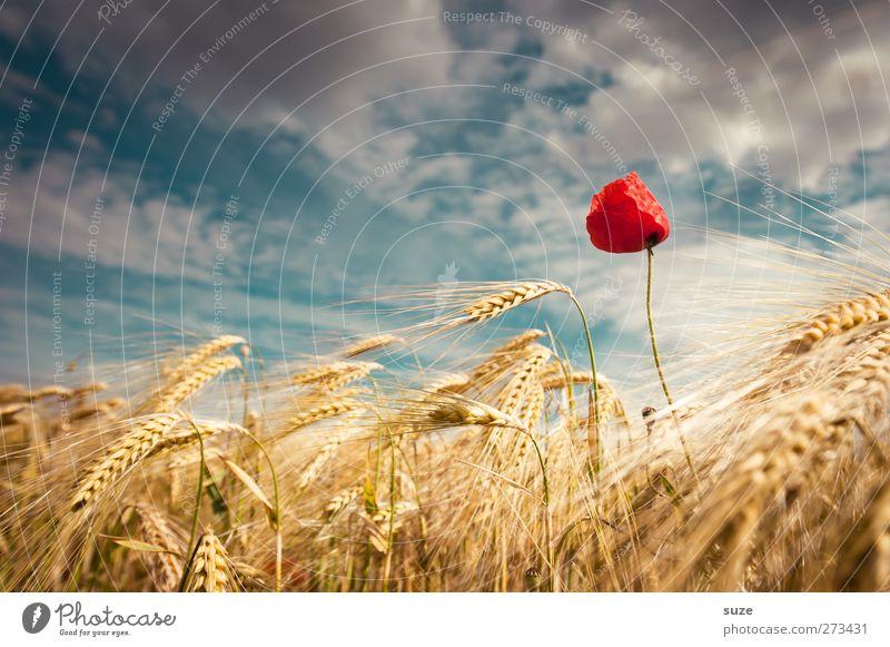Rotkäppchen Himmel Natur schön rot Pflanze Sommer Wolken Umwelt Landschaft gelb Blüte Stimmung Wind Feld Wachstum Urelemente