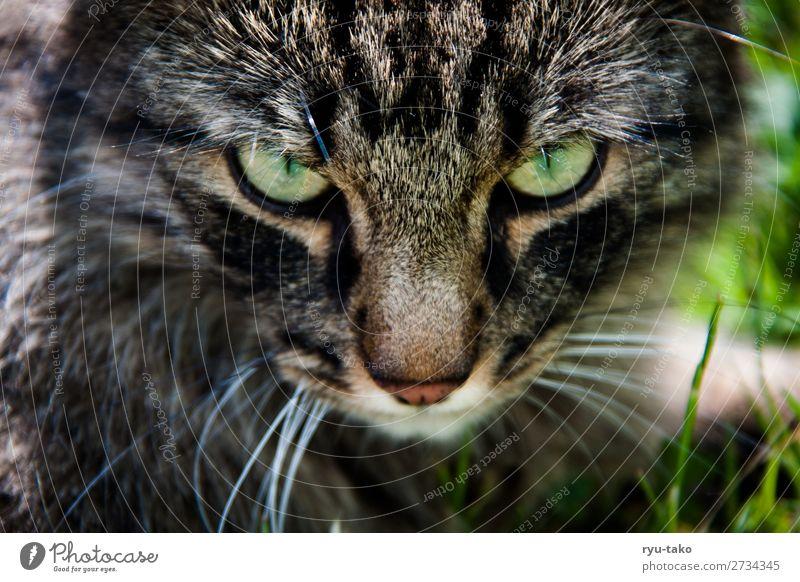 Mr. W II Haustier Katze Norwegische Waldkatze 1 Tier bedrohlich nah wild grün Blick Wiese Gras natürlich tief Wildtier Farbfoto Außenaufnahme Menschenleer