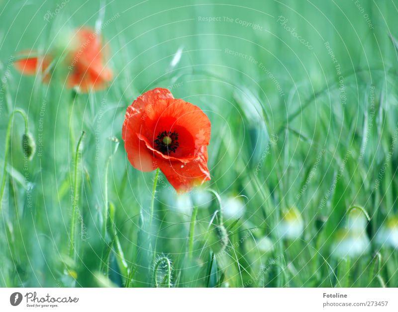 Meine Lieblingsblumen Umwelt Natur Pflanze Sommer Schönes Wetter Blume Blüte Feld natürlich grün rot Mohn Mohnblüte Korn Kornfeld Blühend Farbfoto mehrfarbig