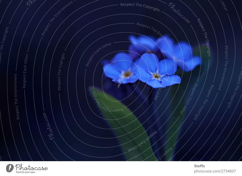 blau wie Vergissmeinnicht Frühlingsblumen Vergissmeinnichtblüte Blume Blüte Wildpflanze Blütenblatt Frühlingsgarten romantisch natürlich blühende Blumen